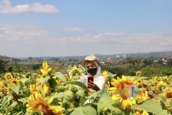 Salah satu wisatawan saat berswafoto di ladang bunga matahari. (Foto: Irsya Richa/ MalangTIMES)