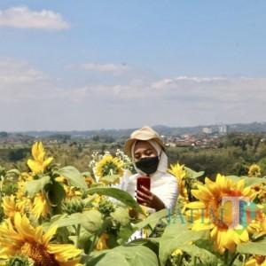 Pesona Bunga Matahari Kembali Hadir di Kota Batu Berada di Area Persawahan