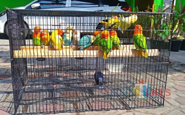 Burung lovebird hasil mutasi genetik milik Lathief Akbar. (Foto: Adi Rosul/ JombangTIMES)