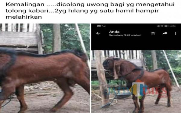 Foto kambing yang dibawa maling Bermobil di desa Sambijajar Kecamatan Sumbergempol / Foto : Istimewa / Tulungagung TIMES