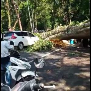 Pohon Raksasa Tumbang dan Timpa Mobil yang Dikendarai, Jalur Kumitir Macet Total