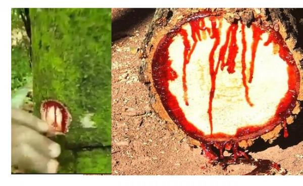 Pohon keluarkan darah jika disakiti (Foto: IST)