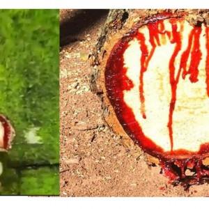 Pohon Ini Keluarkan Darah jika Disakiti, Tumbuh di Sukatrah, Tempat Qabil Membunuh Saudaranya