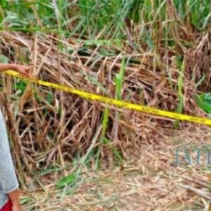 Mayat Ditemukan di Ladang Tebu, Ada Tali dan Botol Pestisida
