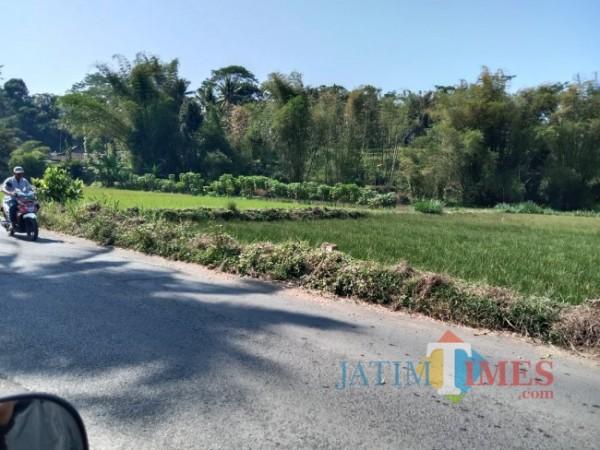 Tanaman rumput mendong di Desa Blayu Kecamatan Wajak yang bersebelahan dengan lahan tanaman padi.(Foto: Riski Wijaya/ MalangTIMES).