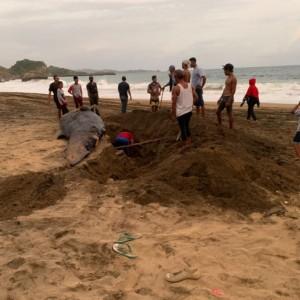 Bangkai Hiu Paus Ditemukan Terdampar di Pantai Jebring