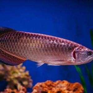 Kesal Akuarium Tak Dibersihkan, Istri Tega Potong-potong hingga Goreng Ikan Arwana Mahal Milik Suami