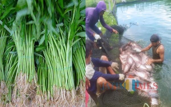 Kangkung dan panen Gurame di Kolam / Foto : Anang Basso / Tulungagung TIMES