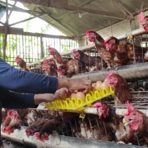 Harga Telur Anjlok, Pemkab Jombang Minta OPD Borong Telur