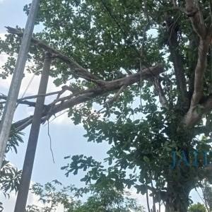 Bahaya, 2 Pekan Pohon Tumbang Timpa Jaringan Tiang Listrik PLN di Tuban Diabaikan